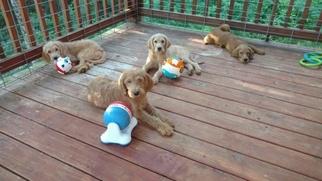 Labradoodle Puppy For Sale in ELLIJAY, GA