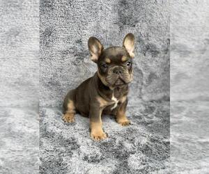 French Bulldog Puppy for Sale in PHILA, Pennsylvania USA