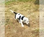 Small #1 Bernese Mountain Dog Mix