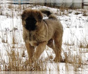 Caucasian Shepherd Dog Dog for Adoption in TWINING, Michigan USA