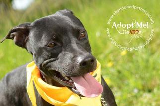 Shannon - Labrador Retriever / Terrier / Mixed Dog For Adoption