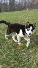 Alaskan Malamute Puppy For Sale in SALEM, OH