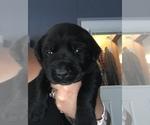 Labrador Retriever Puppy For Sale in SAINT CLAIR SHORES, MI, USA