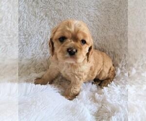 Puppyfinder Com Cocker Spaniel Puppies Puppies For Sale Near Me In Michigan Usa Page 1 Displays 10