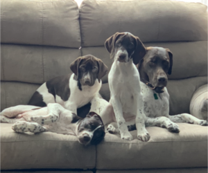 German Shorthaired Pointer Puppy for sale in FARGO, ND, USA