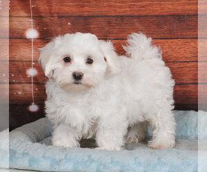 Maltichon Puppy for sale in PENNS CREEK, PA, USA