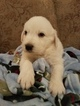 Great Pyrenees Puppy For Sale in PHELAN, CA, USA