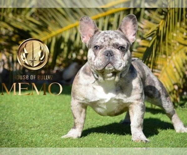 Medium Photo #5 French Bulldog Puppy For Sale in N LAS VEGAS, NV, USA