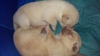 Goberian male puppies