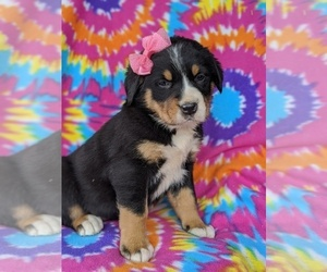 Greater Swiss Mountain Dog Puppy for sale in AIRVILLE, PA, USA