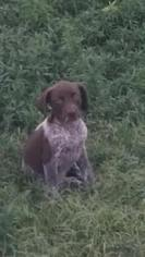 German Shorthaired Pointer Puppy For Sale in DIGHTON, KS