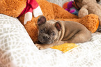 French Bulldog Puppy For Sale in FAYETTEVILLE, AR, USA
