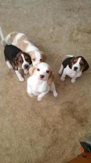 Beagle Puppy for sale in REYNOLDSBURG, OH, USA