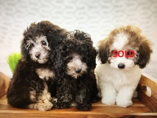View Ad Poodle Miniature Puppy For Sale Near Texas