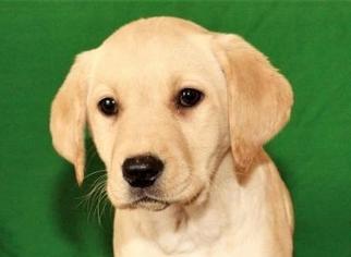 Labrador Retriever Puppy for Sale in SHAWNEE, Oklahoma USA
