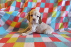 Cocker Spaniel Puppy For Sale in TONOPAH, AZ,