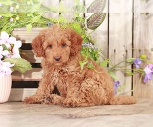 Goldendoodle Puppy for sale in MOUNT VERNON, OH, USA