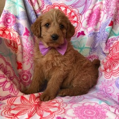 Labradoodle Puppy For Sale in EPHRATA, PA, USA