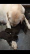 Labrador Retriever Puppy For Sale in BOWLING GREEN, KY, USA