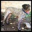 German Shorthaired Pointer Puppy For Sale in CORONA, CA,