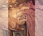 Small Golden Labrador