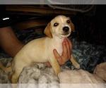 Puppy 1 Chiweenie