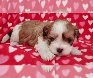 Mal-Shi-Maltese Mix Puppy for sale in ROCKFORD, MI, USA