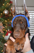 Doberman Pinscher Puppy For Sale in POCONO SUMMIT, PA, USA