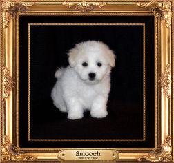Coton de Tulear Puppy For Sale in RUSH CITY, MN