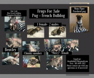 Frenchie Pug Puppy for sale in SAN PEDRO, CA, USA