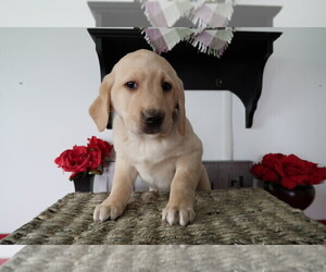 Labrador Retriever Puppy for sale in FORT WAYNE, IN, USA
