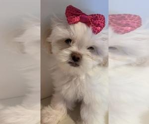 Shih Tzu Puppy for sale in THREE RIVERS, MI, USA