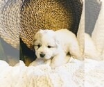 Small #26 Great Pyrenees