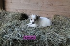 Jack Russell Terrier-Unknown Mix Puppy For Sale in WOODWARD, PA, USA