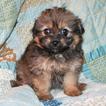 Pomeranian-Poodle (Toy) Mix Puppy For Sale in CEDAR PARK, TX, USA