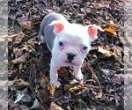 Small #7 Boston Terrier
