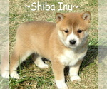 Shiba Inu Puppy For Sale in FOYIL, OK, USA