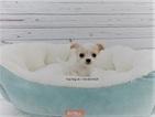 Chihuahua Puppy For Sale in LA MIRADA, CA, USA