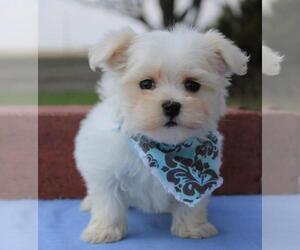 Maltese Puppy for sale in ORO VALLEY, AZ, USA