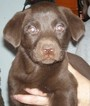 AKC UKC LABRADOR RETRIEVER PUPPIES  READY NOW