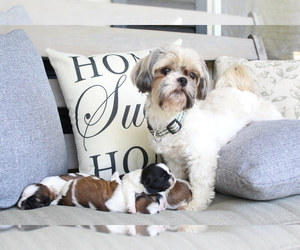 Mother of the Shih Tzu puppies born on 04/25/2019