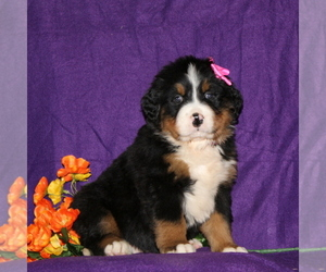 Bernese Mountain Dog Puppy for sale in COCHRANVILLE, PA, USA