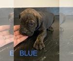 Puppy 5 Mastador