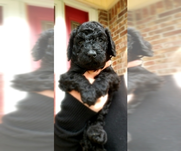 Medium Photo #25 Poodle (Standard) Puppy For Sale in DYERSBURG, TN, USA