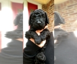 Small Photo #25 Poodle (Standard) Puppy For Sale in DYERSBURG, TN, USA