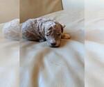 Puppy 1 Goldendoodle-Poodle (Toy) Mix