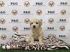Cockapoo Puppy For Sale in TEMPLE CITY, CA, USA