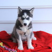 Siberian Husky Puppy For Sale in GAP, PA, USA