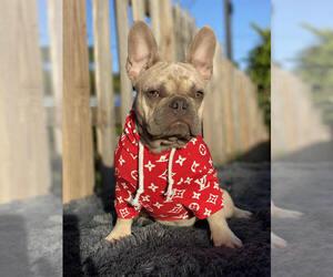 French Bulldog Puppy for sale in COOPER CITY, FL, USA