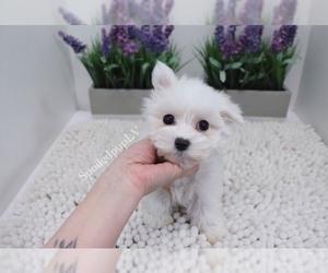 Maltese Puppy for Sale in LAS VEGAS, Nevada USA